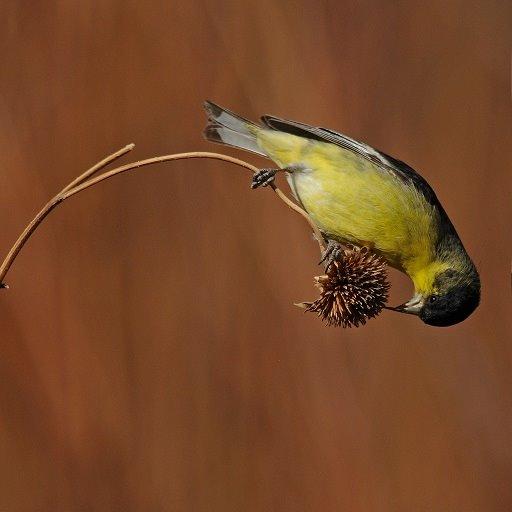 Band birdie