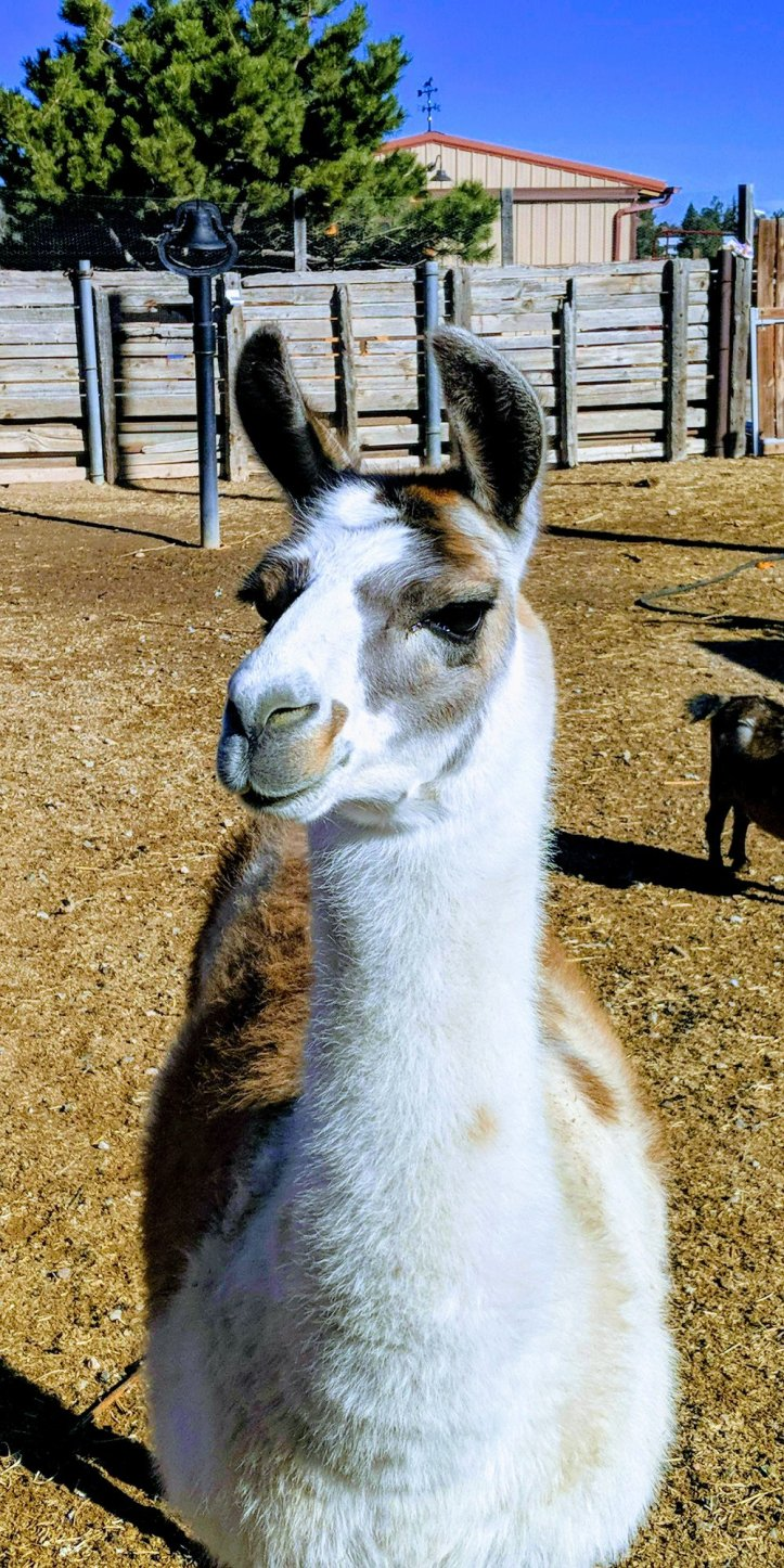 Lillie the llama.jpg