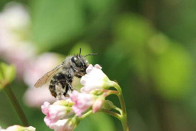 leaf-cutter-bee