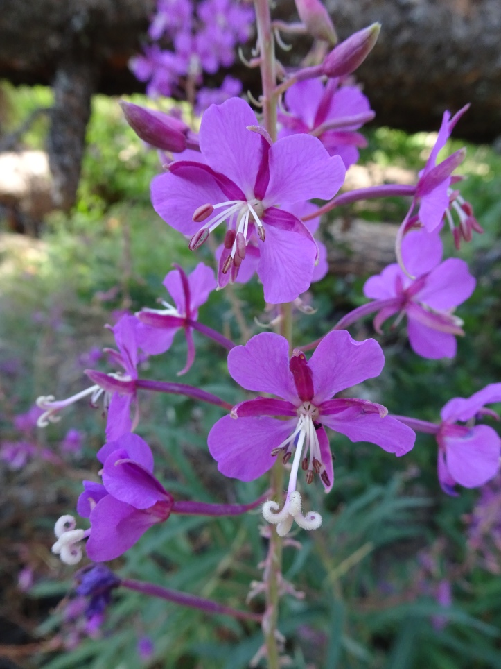 Fireweed? On lower Water Canyon trail
