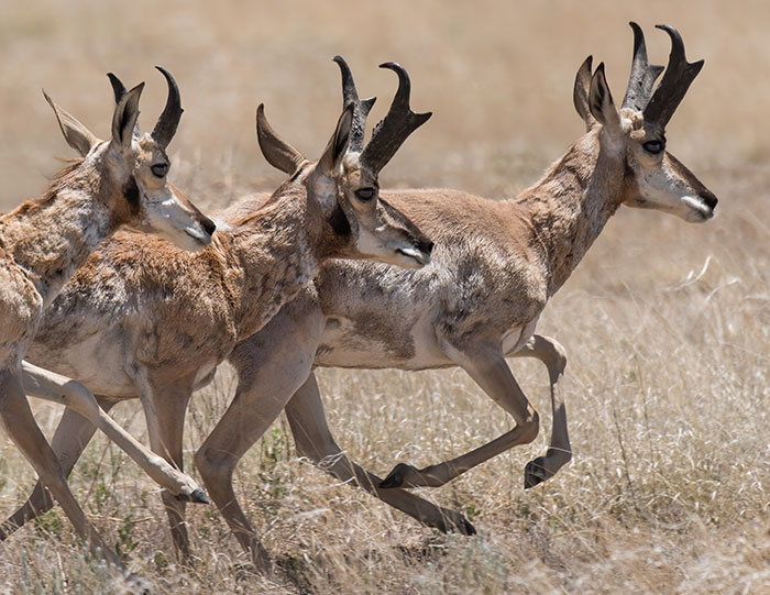 magazine-exclsuive-articles-2020-June-conservation-Pronghorn-New-Mexico-High-Plains-bucks-bachelor-herds