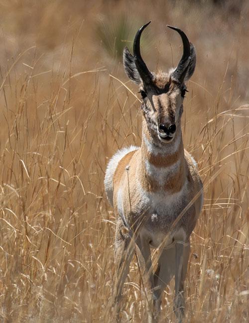 magazine-exclsuive-articles-2020-June-conservation-Pronghorn-New-Mexico-High-Plains-rump-hair-danger