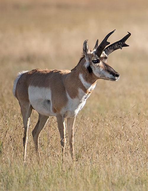 magazine-exclsuive-articles-2020-June-conservation-Pronghorn-New-Mexico-High-Plains-tonal-range