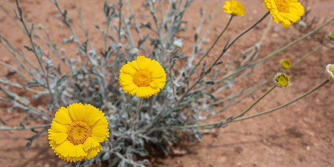 magazine-exclsuive-articles-2020-July-conservation-education-flower-or-weed-desert-marigold