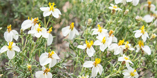 magazine-exclsuive-articles-2020-July-conservation-education-flower-or-weed-desert-zinnia