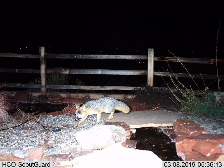 Gray Fox (0581)